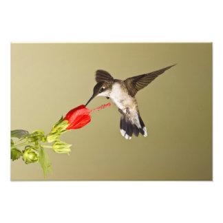 Archilochus Rubí-throated del colibrí Fotografía
