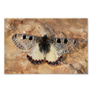 Archon Apollinus Butterfly Poster