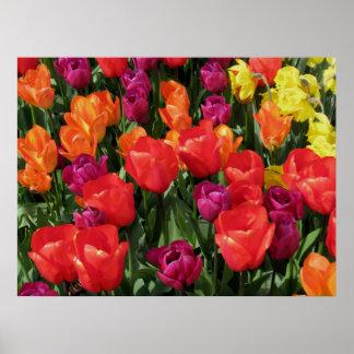 Arco iris de tulipanes impresiones