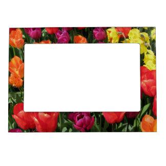 Arco iris de tulipanes foto de imanes