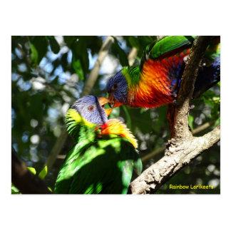 Arco iris juvenil Lorikeets Tarjetas Postales