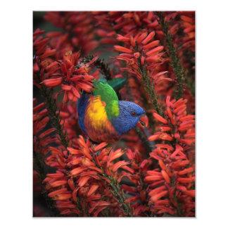 Arco iris Lorikeet en impresión del áloe 11x14 Cojinete