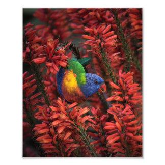 Arco iris Lorikeet en impresión del áloe 8x10 rojo Fotografía