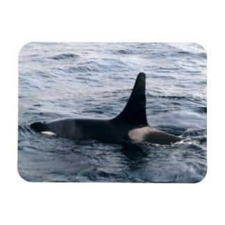 Arctic Beaufort Sea Orca Whale Photo Designed Rectangular Photo Magnet