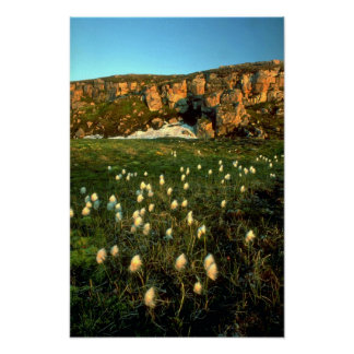 Arctic Cotton Grass on an arctic island, NWT, Cana Poster
