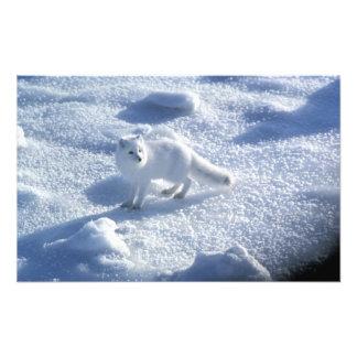 Arctic fox Alopex lagopus) An arctic fox, in 2 Art Photo