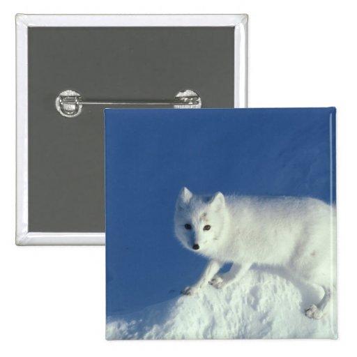 Arctic fox Alopex lagopus) An arctic fox, in 2 Inch Square Button