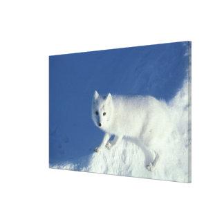 Arctic fox Alopex lagopus) An arctic fox, in Canvas Print