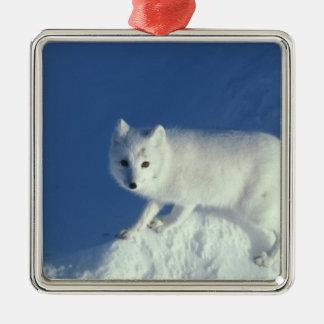 Arctic fox Alopex lagopus) An arctic fox, in Christmas Ornaments
