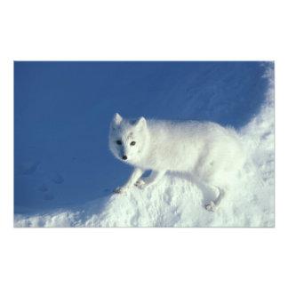 Arctic fox Alopex lagopus) An arctic fox, in Photo
