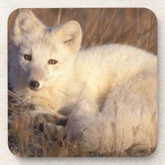 arctic fox, Alopex lagopus, coat changing from 2 Coaster