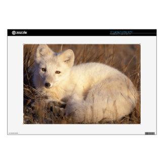 arctic fox, Alopex lagopus, coat changing from 2 Laptop Decals