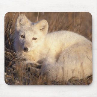 arctic fox, Alopex lagopus, coat changing from 2 Mouse Pad