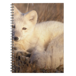 arctic fox, Alopex lagopus, coat changing from 2 Notebook