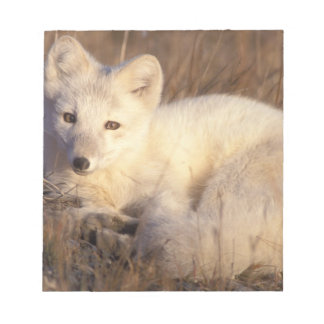 arctic fox, Alopex lagopus, coat changing from 2 Notepad