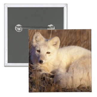 arctic fox, Alopex lagopus, coat changing from 2 Pinback Button