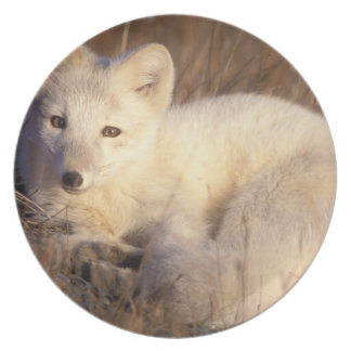 arctic fox Alopex lagopus coat changing from 2 Plates