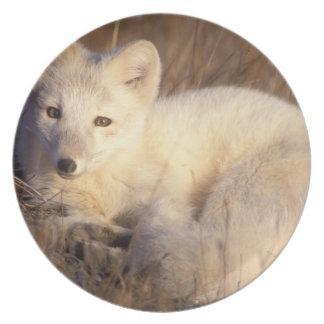 arctic fox, Alopex lagopus, coat changing from 2 Plates