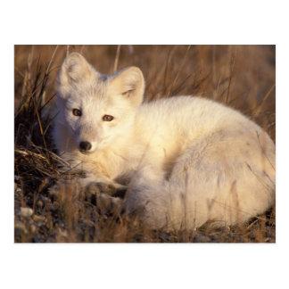 arctic fox, Alopex lagopus, coat changing from 2 Postcard
