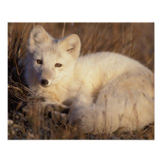 arctic fox, Alopex lagopus, coat changing from 2 Print