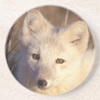 arctic fox, Alopex lagopus, coat changing from 2 Sandstone Coaster