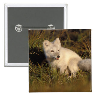 arctic fox, Alopex lagopus, coat changing from 3 Button