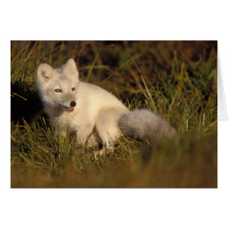 arctic fox, Alopex lagopus, coat changing from 3 Card