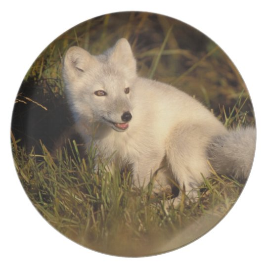 arctic fox, Alopex lagopus, coat changing from 3 Dinner Plate