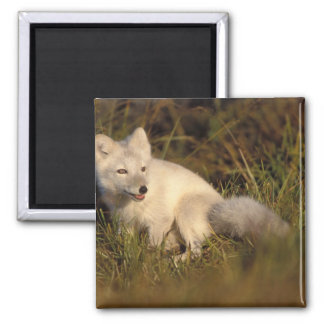 arctic fox, Alopex lagopus, coat changing from 3 Magnet