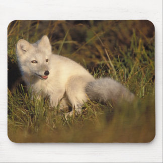 arctic fox, Alopex lagopus, coat changing from 3 Mouse Pad