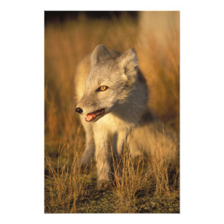arctic fox, Alopex lagopus, coat changing from 3 Photo