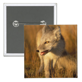 arctic fox, Alopex lagopus, coat changing from 3 Pinback Button