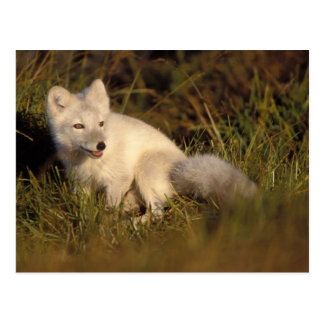arctic fox, Alopex lagopus, coat changing from 3 Postcard