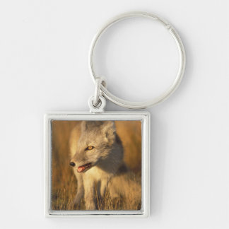 arctic fox, Alopex lagopus, coat changing from 3 Silver-Colored Square Keychain