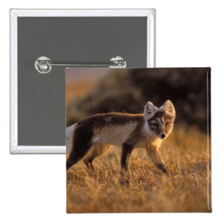 arctic fox, Alopex lagopus, coat changing from Button