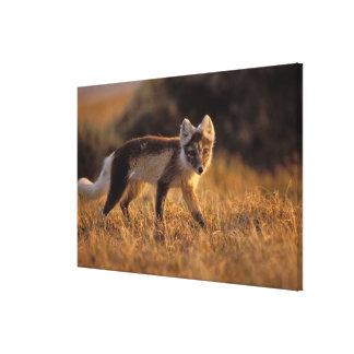 arctic fox, Alopex lagopus, coat changing from Canvas Print