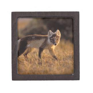 arctic fox, Alopex lagopus, coat changing from Gift Box