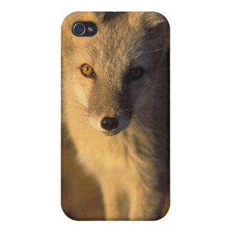 arctic fox, Alopex lagopus, coat changing from iPhone 4/4S Cover