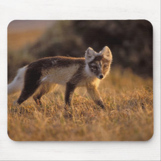 arctic fox, Alopex lagopus, coat changing from Mouse Pad