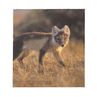 arctic fox, Alopex lagopus, coat changing from Notepad