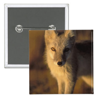 arctic fox, Alopex lagopus, coat changing from Pinback Button