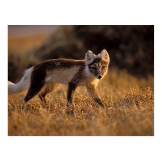 arctic fox, Alopex lagopus, coat changing from Postcard