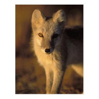 arctic fox, Alopex lagopus, coat changing from Postcard