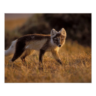 arctic fox, Alopex lagopus, coat changing from Poster