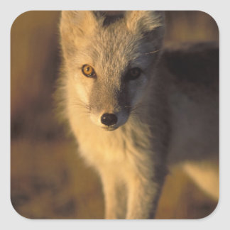 arctic fox, Alopex lagopus, coat changing from Square Sticker