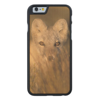 arctic fox, Alopex lagopus, on the 1002 coastal 2 Carved® Maple iPhone 6 Case