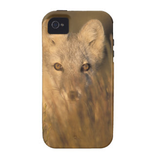 arctic fox, Alopex lagopus, on the 1002 coastal 2 iPhone 4/4S Covers