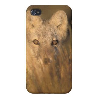 arctic fox, Alopex lagopus, on the 1002 coastal 2 iPhone 4/4S Case