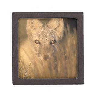 arctic fox, Alopex lagopus, on the 1002 coastal 2 Keepsake Box