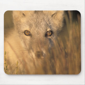 arctic fox, Alopex lagopus, on the 1002 coastal 2 Mouse Pad